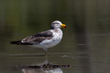Pacific Gull (j)