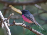 Pink Robin (m)