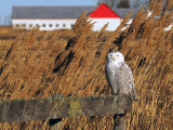 Harfang des neiges  / SNOWY OWL  2015