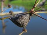 Les oeufs du taon noir parasités