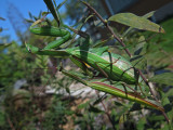 Mating Mantis / COPULATION ( accouplement ) chez la MANTE RELIGIEUSE / PRAYING MANTIS  / Mantis religiosa
