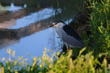 BIHOREAU GRIS / Black crowned night heron
