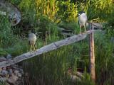 Black crowned night heron / BIHOREAU GRIS