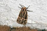 Apantèse vierge / Virgin Tiger Moth (Grammia virgo)