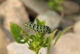 Chenille du papillon du céleri / Black Swallowtail carterpillar