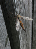 TIPULES / COUSINS  (Diptères Tipulidae)