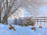 PERDRIX GRISES / Grey Partridge / Janvier 2011