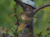 Paruline couronne rousse (Automne)