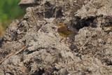 Paruline couronne rousse