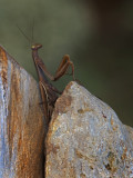 PRAYING MANTIS / MANTE RELIGIEUSE  / Mantis religiosa