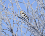 Snow bunting / Plectrophane des neiges