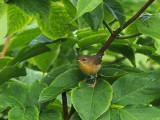 Common Yellowthroat / Paruline masquée