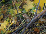 Bruant de Lincoln / Lincoln's Sparrow