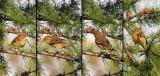 Paruline rayée (plumage automne) ?