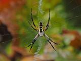 ARGIOPE DORÉE / SPIDER ARGIOPE KEYSERLINGI