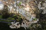 Prunus Américana Negra / AVRIL