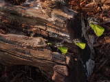 Megachile / Abeilles découpeuses (Leafcutter bees)