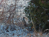 Grey Partridge 8 mars 2018 / 6:42