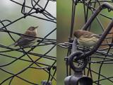 PASSEREAUX  / Song Birds