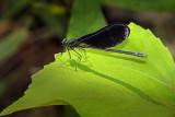 Demoiselle bistrée / Ebony Jewelwing / Broad-winged damselflies (Calopteryx maculata)