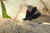 Ebony Jewelwing / Broad-winged damselflies / Demoiselle bistrée  (Calopteryx maculata)