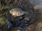 Petits poissons / Mennow