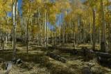 Wilson Meadows /  Flagstaff Arizona  / Aspen trees in scattered light