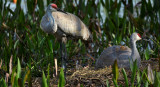 Sandhill Cranes and chick snuggled and content.