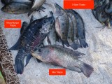 Mozambique, Nile and 3-Spot Tilapia in the Chibuto fish market