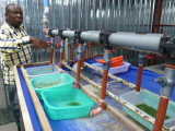 Tilapia egg incubators at IIP hatchery