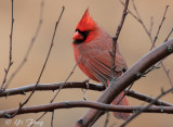 Cardinal, Bluejay, Mourning Dove