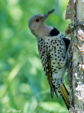 Woodpeckers and Flickers