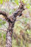 Black-throated Saltator (Saltator atricollis)
