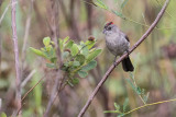 Grey Pileated Finch (Coryphospingus pileatus)