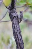 Checkered Woodpecker (Veniliornis mixtus)