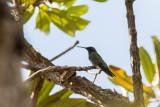 White-vented Violetear (Colibri serrirostris)