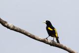 New World Blackbirds