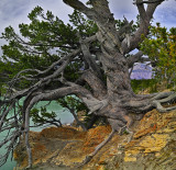 The World's Oldest Limber Pine