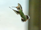 Hummingbirds - 2018 Collection Gallery 2