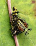 Hyalophora cecropia JL16 #0624