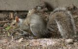 Grey Squirrel MY17 #8689