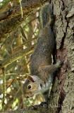 Grey Squirrel MY17 #9195