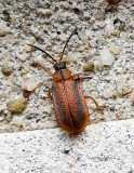 Neogalerucella calmariensis JN17 #6837