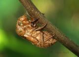 Dog Day Cicada Exuvia S17 #4532