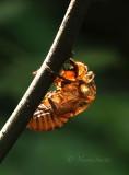 Dog Day Cicada Exuvia S17 #4551