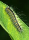 Fall Webworm Caterpillar S17 #4397