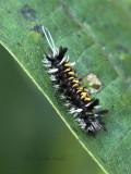 Milkweed Tussock caterpillar S17 #4475