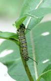 Monarch caterpillar S17 #4286
