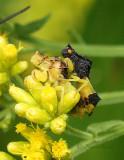 Jagged Ambush Bugs S17 #3795