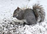 Grey Squirrel AP18 #5113